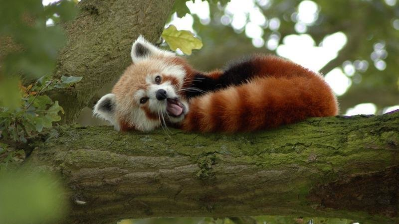 Image of: Pandas Born Stop Red Pandas From Becoming Endangered Changeorg Petition Stop Red Pandas From Becoming Endangered Changeorg