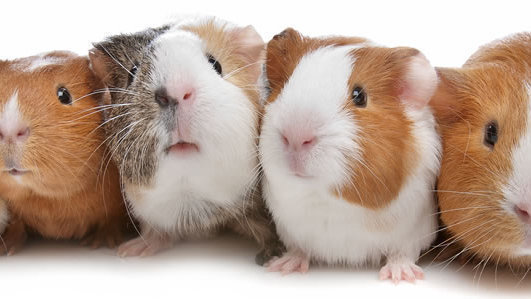 Guinea Pig Gifts 8
