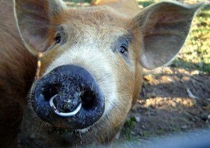Petition 183 Dr Chris Brown No Nose Rings For Pigs