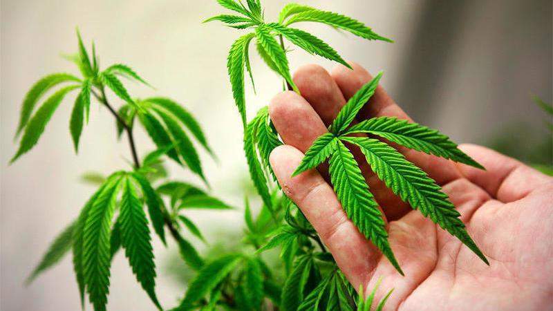 Хранение марихуаны ответственность конопля в курске