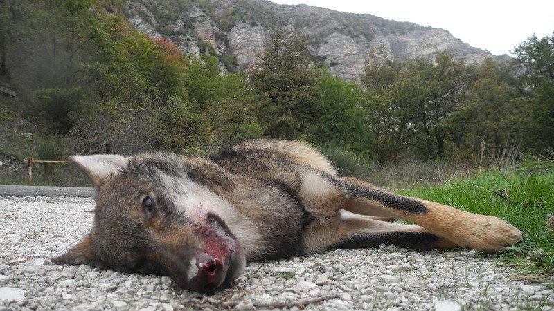 Abbattimento illegittimo dei lupi