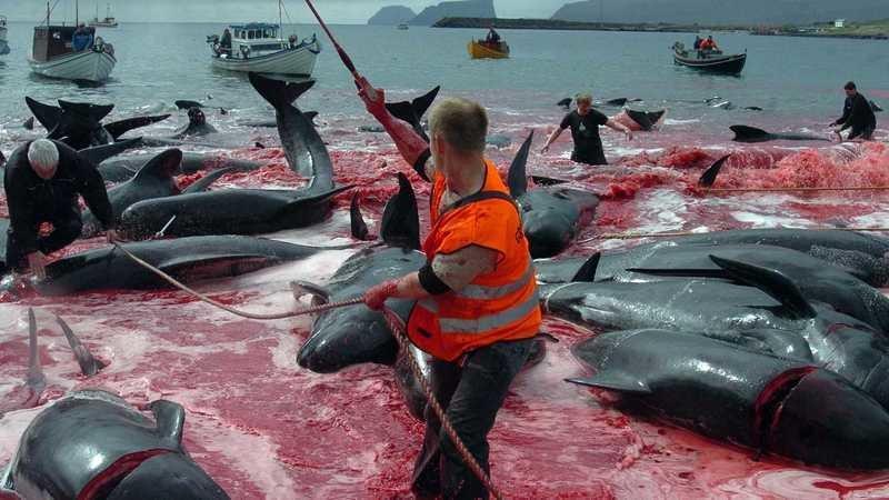 Resultado de imagem para Stop Killing in Faroe Islands