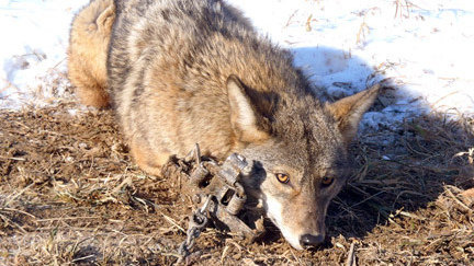 petition ban fur trapping  north america changeorg