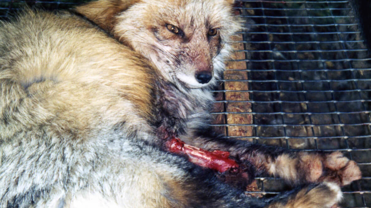 Why is wearing fur wrong?