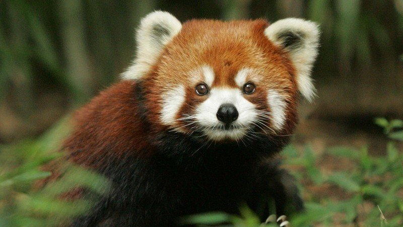 Image of: Pandas Born Put Red Pandas In Madagascar Because They Are Endangered And Very Cute Changeorg Petition Dreamworks Put Red Pandas In Madagascar Because They