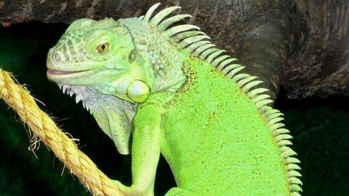 Blue Iguana For Sale : Lizards for sale u new england reptile