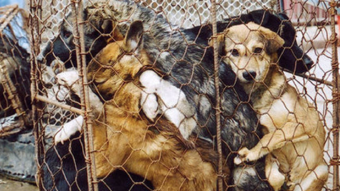 Yulin Dog Meat Festival 2020.Petition End The Yulin Dog Meat Festival Change Org