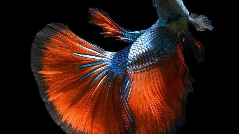 Petition please provide humane habitats for the betta for Petsmart betta fish