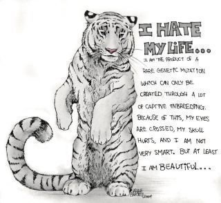 petition i want zoos to stop inbreeding tigers to pruduce white