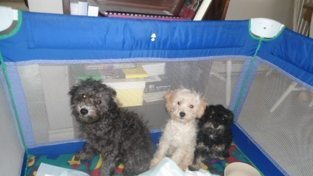 Lisa S Small Dog Rescue Barrie