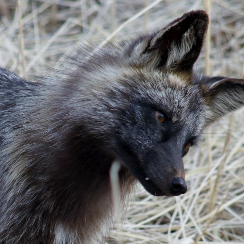 Petition North Carolina Wrc Legalize The Private Possession And Importation Of Foxes In Nc With Permit Change Org