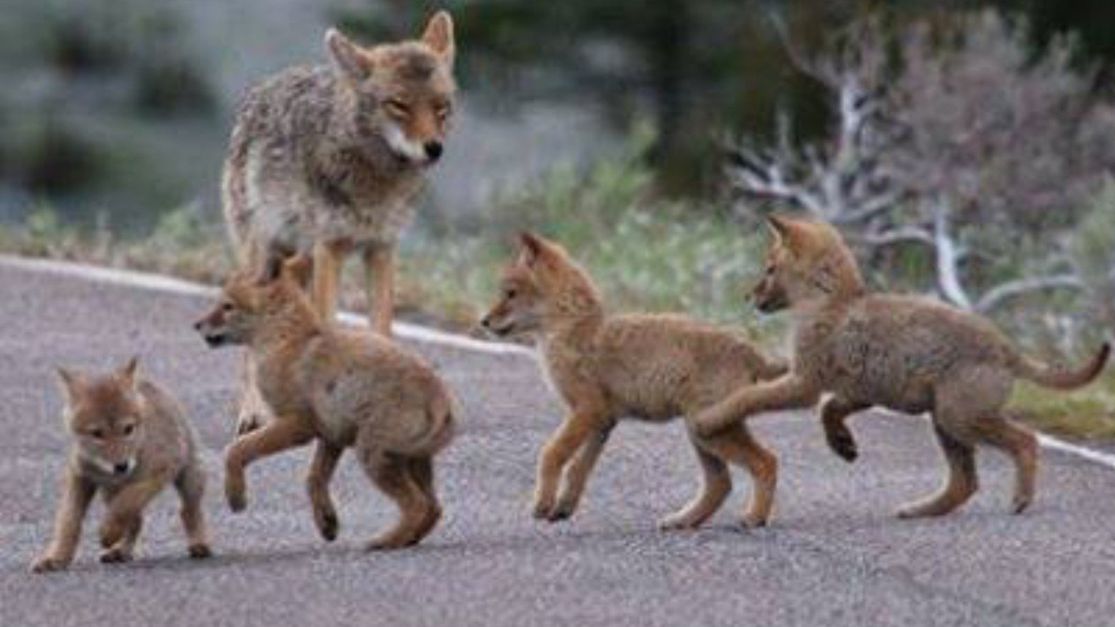petition nordstrom ban the import of coyote coats from canada