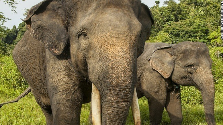 Endangered species threatened by unsustainable palm oil ... |Sumatran Elephant Endangered
