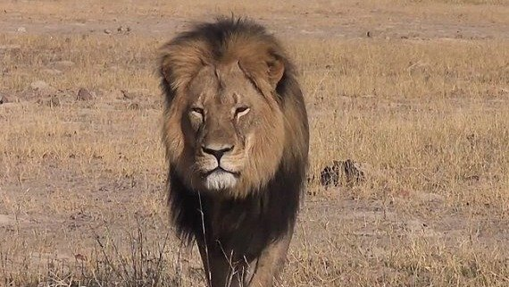 release date pre order factory price Petition · Justice for Cecil the iconic collared lion ...