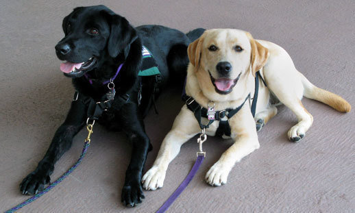 How To To Get Some A Service Dog For Disabled