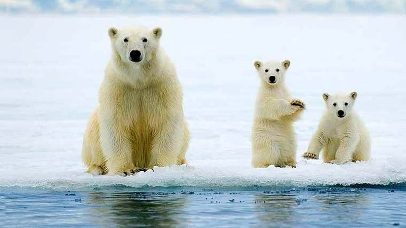 Image result for Save Polar Bear