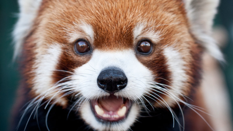 Students Save The Red Pandas on Search Ck
