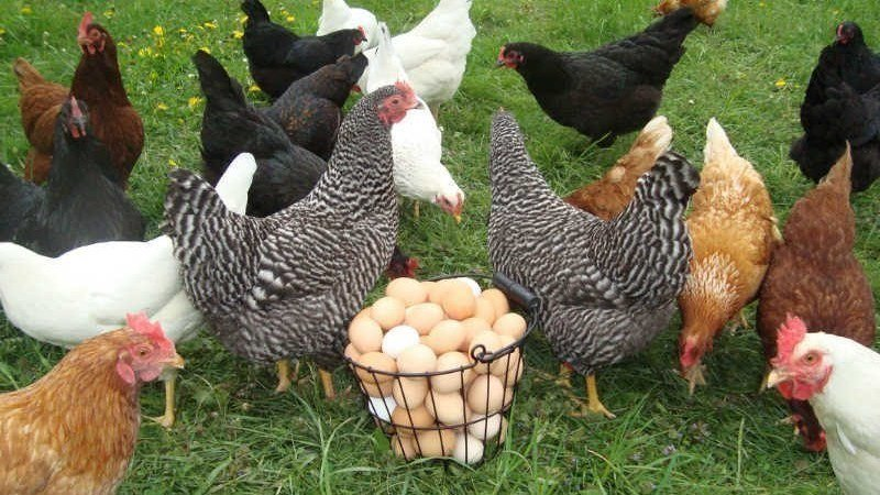 Chickens Backyard petition · edgewater mayor & city council, allow backyard chickens